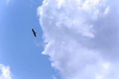 Falke-Fliegen durch den Himmel Stockfotografie