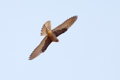Falke-Flugwesen Lizenzfreie Stockfotografie