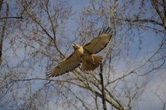 Falke-Flugwesen Lizenzfreie Stockbilder