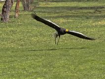 Falke-gef?hrten Stellers Seeadler, Haliaeetus pelagicus, im Flug stockfotos
