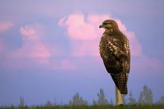 Falke gegen drastischen Himmel Stockbild