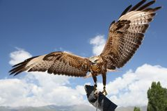 Falke hat Flügel verbreitet. lizenzfreies stockfoto