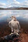 Falke hockte auf behandschuhter Hand mit Seeszene Stockfotos