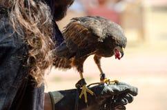 Falke hockte auf einem Falkner ` s Handschuh stockbild
