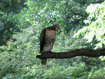 Falke im Baum Lizenzfreies Stockbild