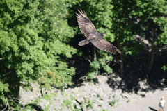 Falke im Flug Taughahook fällt New York lizenzfreie stockfotografie