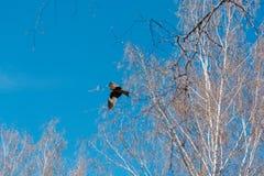 Falke im Himmel Ein Vogel im Flug Stockfoto