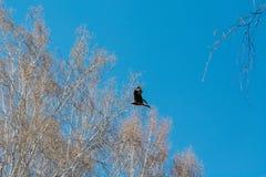 Falke im Himmel Ein Vogel im Flug Stockfotos