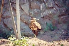 Falke im Zoo, Falke in der Gefangenschaft Lizenzfreie Stockfotografie