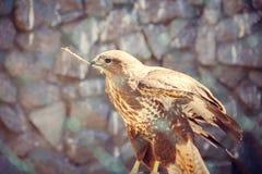 Falke im Zoo, Falke in der Gefangenschaft Stockfotografie
