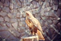 Falke im Zoo, Falke in der Gefangenschaft Lizenzfreies Stockfoto