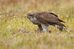 Falke isst Fasan lizenzfreies stockbild