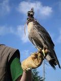 Falke ist bereit zu jagen Stockbild