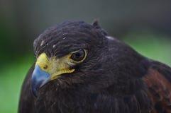 Falke mit dem gelben Schnabel und den intensiven Augen Stockbilder
