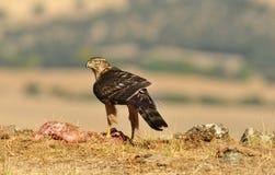 Falke mit Lebensmittel auf dem Gebiet Stockfotografie
