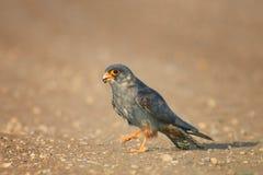 Falke mit Opfer Falco-vespertinus Stockfotografie