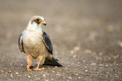 Falke mit Opfer Falco-vespertinus Lizenzfreie Stockbilder