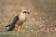 Falke mit Opfer Falco-vespertinus Lizenzfreies Stockbild