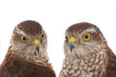 Falke mit zwei Porträts Lizenzfreie Stockfotografie
