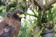 Falke oder Adler, Nahaufnahme Lizenzfreies Stockbild