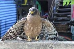Falke oder Adler, Nahaufnahme Stockbilder