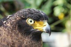 Falke oder Adler, Nahaufnahme Lizenzfreie Stockbilder