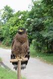 Falke oder Adler, Nahaufnahme Stockfoto