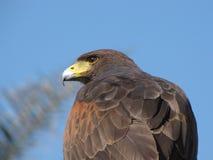 Falke oder Eagle, die weiß Lizenzfreie Stockfotos