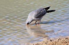 Falke, Pale Chanting - wilde Vögel von Afrika - Kräuselungen Stockbild