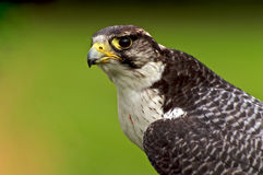 Falke schaut ein Stockfoto