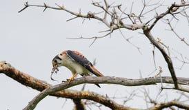 Falke sitzt auf einem Zweig und isst eine Eidechse Stockfotografie