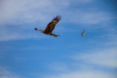 Falke und Schwalbe im blauen Himmel Lizenzfreie Stockfotos
