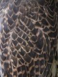 Falke versieht Beschaffenheit, Falco-cherrug mit Federn Stockbilder
