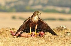 Falke versteckt das Lebensmittel zwischen den Flügeln Stockfotos