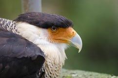 Falke-Vogel Lizenzfreie Stockbilder