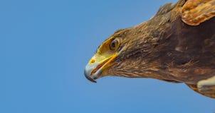 Falke-Vogelfliegen auf dem Himmelextremabschluß herauf Hauptporträt lizenzfreie stockbilder