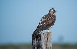 Falke, welche nach einer Mahlzeit sucht Lizenzfreies Stockbild