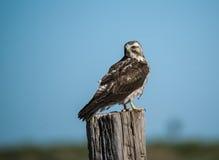 Falke, welche nach einer Mahlzeit sucht Stockfotografie