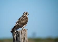 Falke, welche nach einer Mahlzeit sucht Lizenzfreies Stockfoto