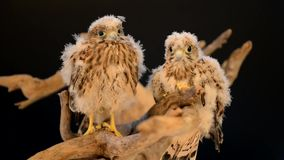 Falke zwei auf hölzernem Treibholz stock video footage