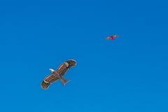 Falkedrachenfliegen im blauen Himmel Stockbild
