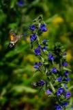 Falkemotte, die butterly vor blauer Blume fliegt lizenzfreie stockfotos