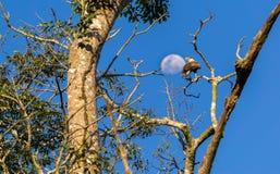 Falken über Baum gegen Mond Stockfotos