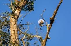 Falken über Baum gegen Mond Lizenzfreie Stockbilder