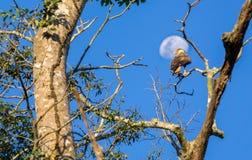 Falken über Baum gegen Mond Lizenzfreies Stockfoto