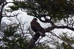 Falken in Park Torres Del Pain lizenzfreie stockbilder