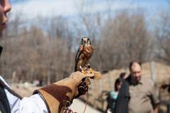 Falken sitter på den mänskliga handen i zoo royaltyfri fotografi
