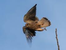 Falken tar av arkivbilder
