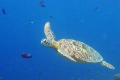 Falkerechnung Schildkröte Stockfoto