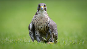 Falkfågel av rovfågeln Royaltyfri Foto